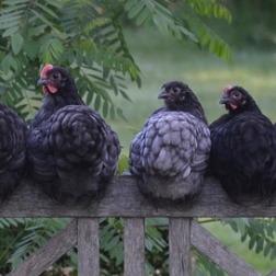 chicken-2742352_640