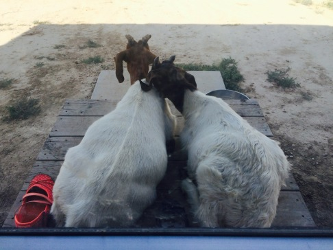GoatsOnThePorch